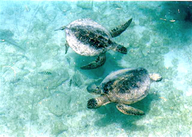 Pair of turtles in the shallows at Midway