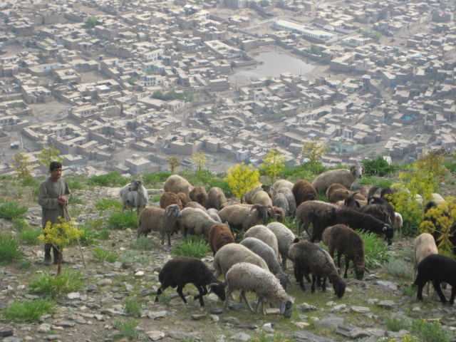 Man shepherding his sheep near Kabul, Afghanistan.