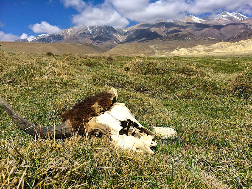 Yak skull left behind by the Dhokpas, Mustang, Tibet.