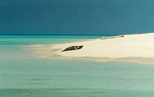 Hawaiian monk seal, nearly extinct, has started breeding on Midway island again.