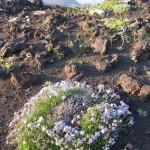 Wildflowers in Kamchatka.