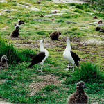 Midway is famous for it's population of Laysan albatross 'Gooney birds.'