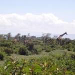 Giraffes in Naivasha, Kenya