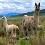 Llamas in the Alcapas, South America.