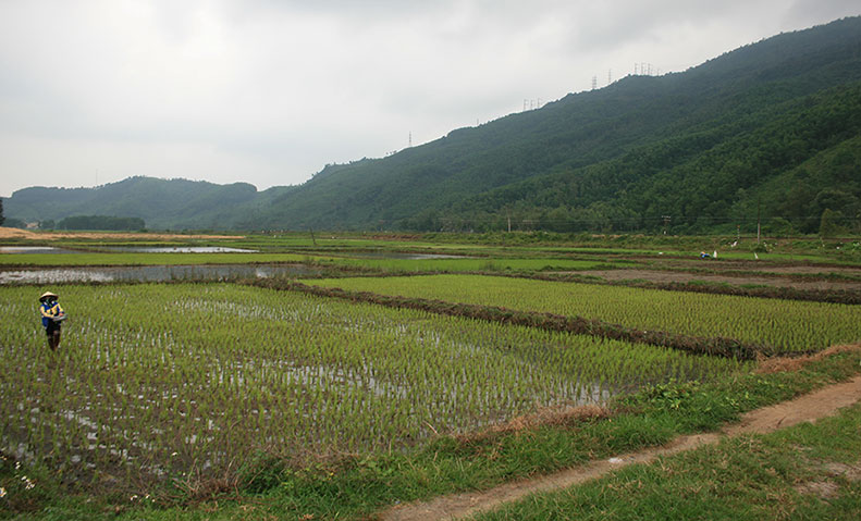 Rice paddy fields of Vietnam.