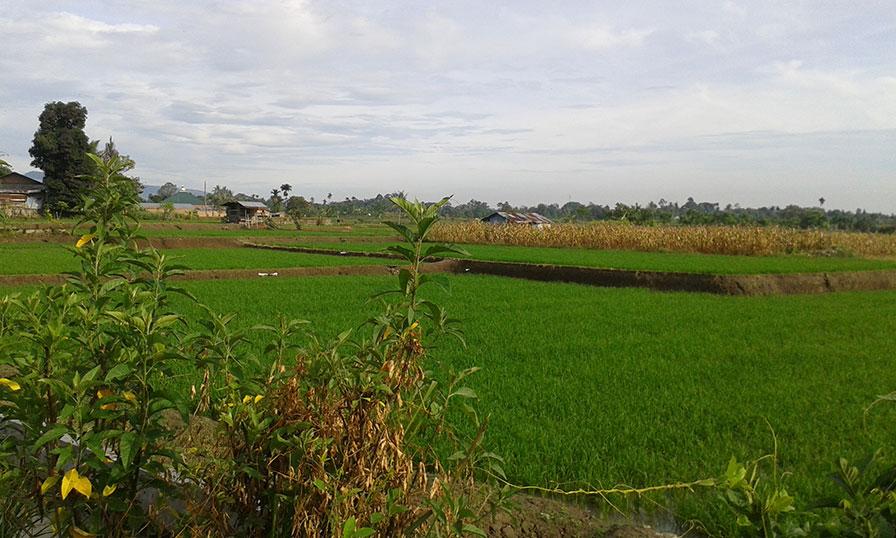 Rice paddies of Sumatra, Indonesia.